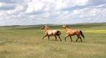 Horses on prairie.
